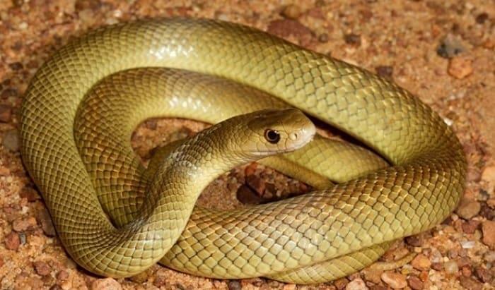 Nằm mơ thấy rắn vàng đánh con gì? lô đề đánh con nào chuẩn?