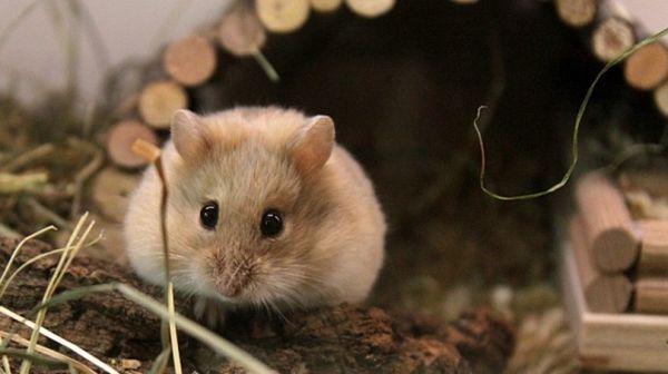 Điềm báo giấc mơ thấy chuột túi và con số lô đề liên quan?