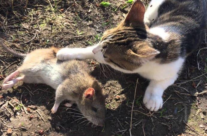Nằm mơ thấy mèo bắt chuột đánh con gì? điềm báo gì?